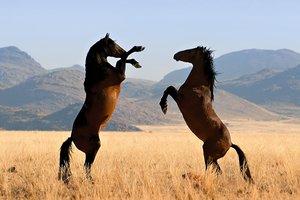 Paardenpancreas